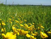 Finnish buttercup meadow.
